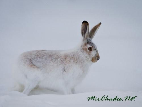 На зиму зайцы белохвостые меняют свой окрас.