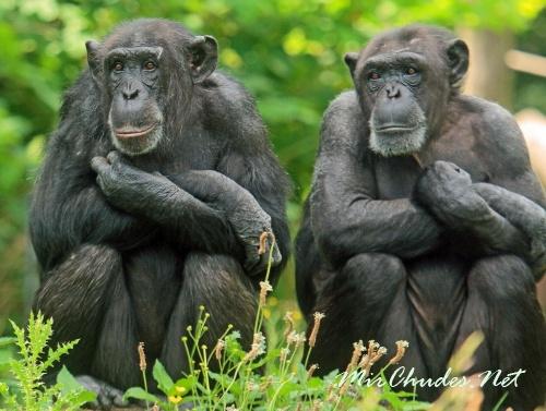 Шимпанзе могут с помощью целенаправленного размышления решать поставленные перед ними задачи.