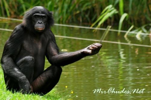 Систематические наблюдения за бонобо в зоопарках принесли им репутацию «сексуально озабоченных».