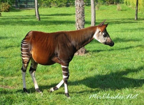 Полоски на шкуре окапи наводят на мысль, что они — родственники зебры. Однако это не так. Окапи ближе всего к жирафам.